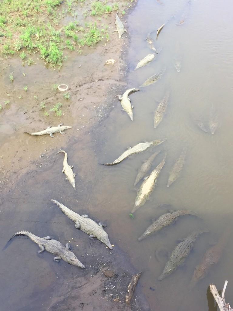Jaco crocodiles - Costa Rica